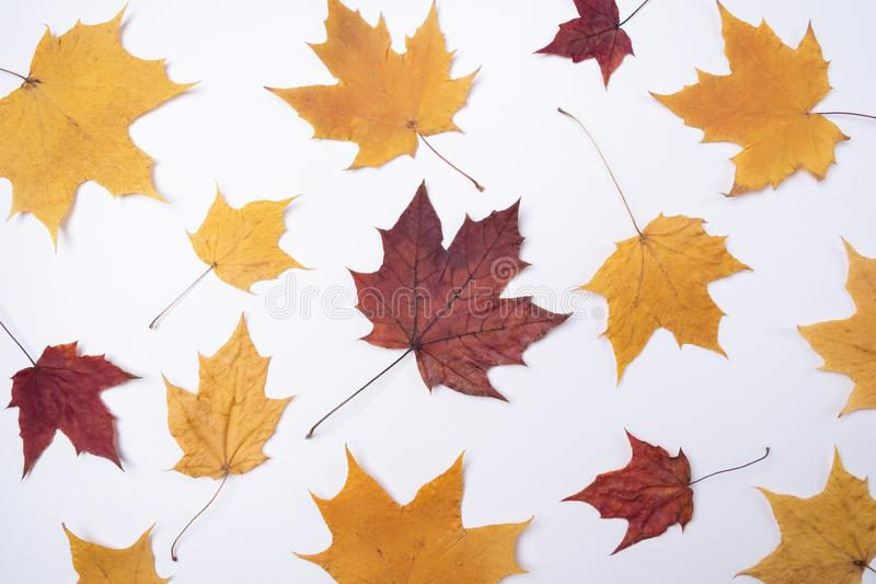 Yellow red maple leaves leaves on white background Autumn concept Season school theme royalty free stock image