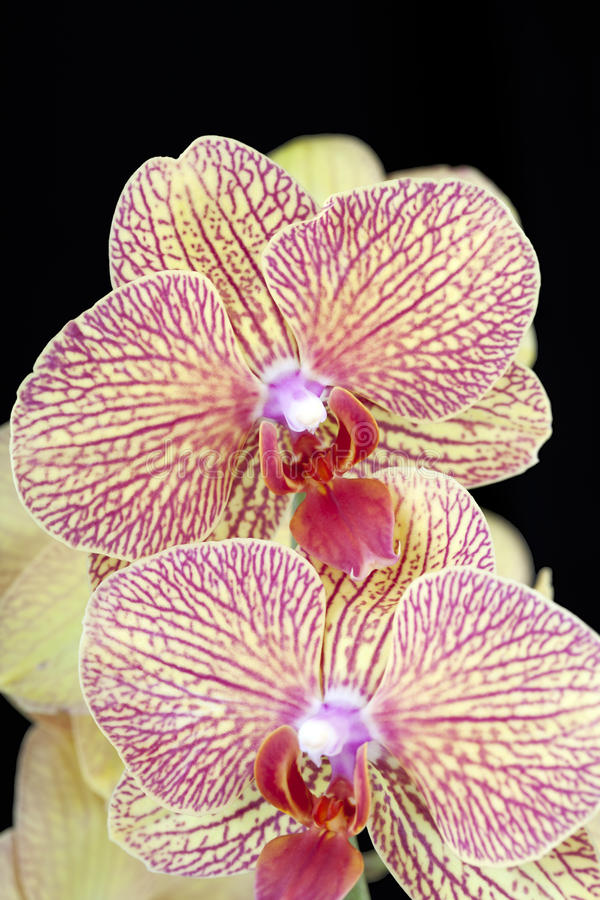Yellow and red orchid flowers on black background. Two orchid flowers red and yellow on black background royalty free stock photo