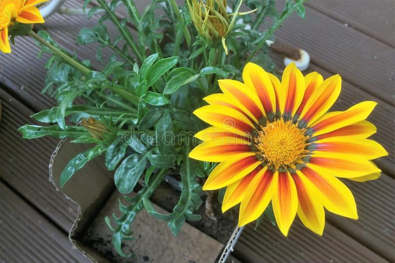 Yellow and Red Petaled flower. Single yellow and red petaled flower with a bunch of green leaves on a wooden deck floor royalty free stock photo