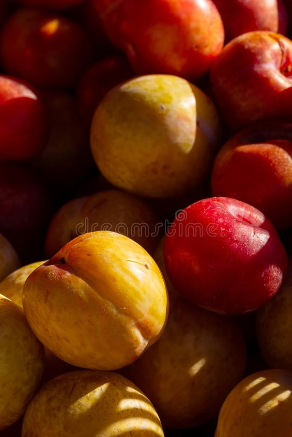 Yellow and Red Plums in Early Morning Light stock photo