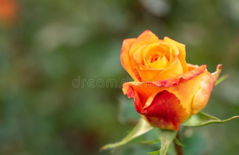 Yellow-red rose flowering in rosary, close up view. Floral background. Single rose blooming. Yellow rose blossoming in stock photos