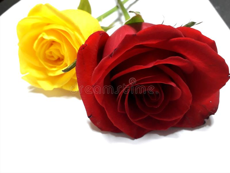 Yellow and red roses royalty free stock images