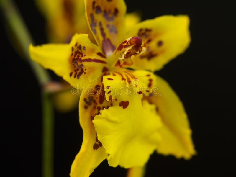 Yellow and red spotted orchid macro close up stock photos