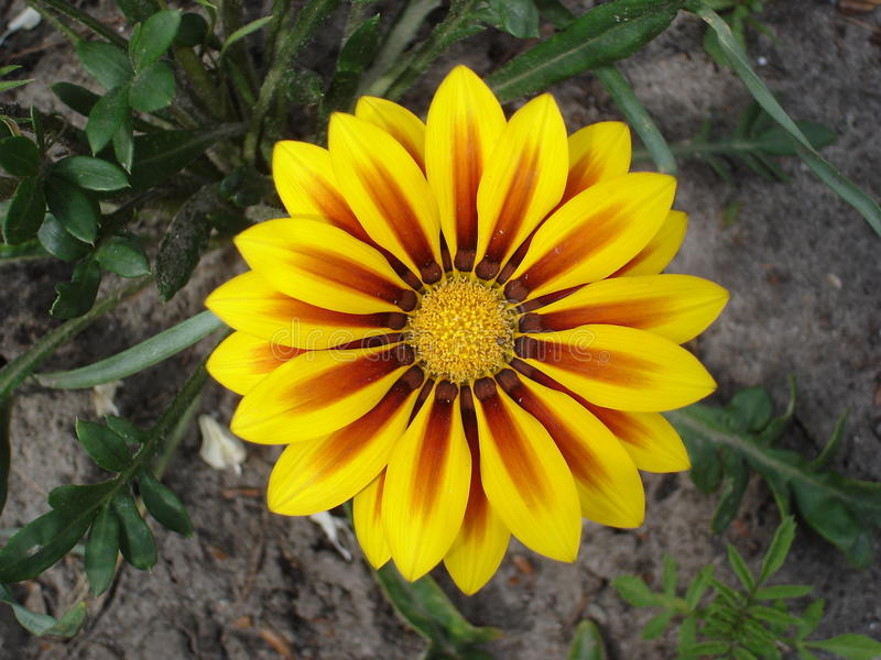 Yellow with red stripes gazania flower 'Red Stripe'.  stock photography