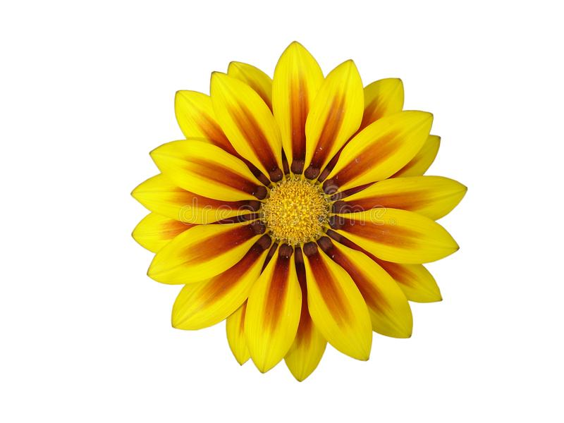 Yellow with red stripes gazania flower `Red Stripe` isolated on. White stock photo