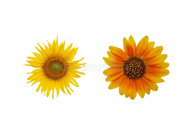 Yellow and Red Sunflower isolated on white background. royalty free stock images