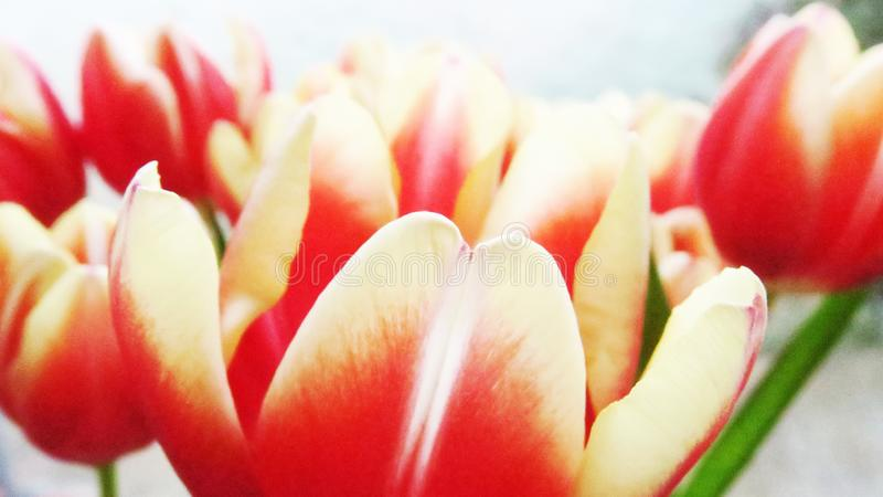 Yellow and red tulip close-up royalty free stock photography