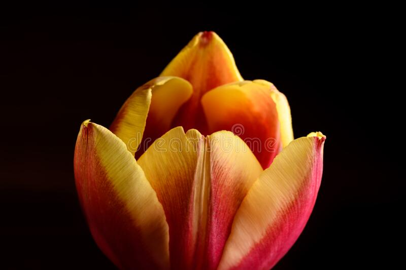 Yellow and red Tulip flower macro photograph. Yellow and red Tulip flower isolated on black background stock image