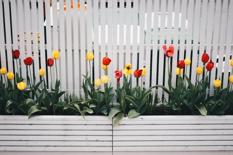 Yellow And Red Tulip Flower Plant Beside White Fence stock photo