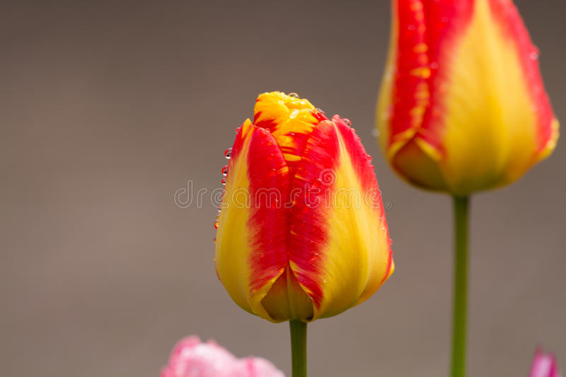 Yellow-red tulip after rain with rain drops close-up royalty free stock photography