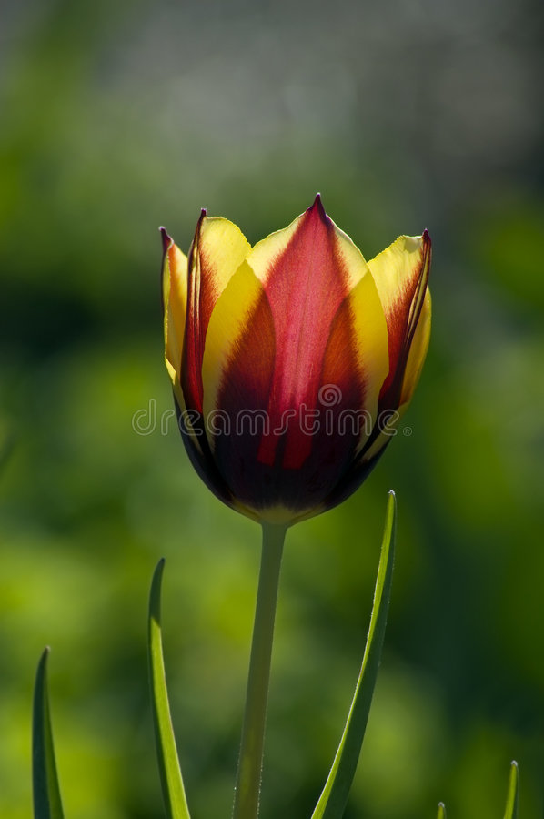 Free Yellow & Red Tulip (Tulipa - Gavota - Triumph Tulip) Stock Photos - 725813