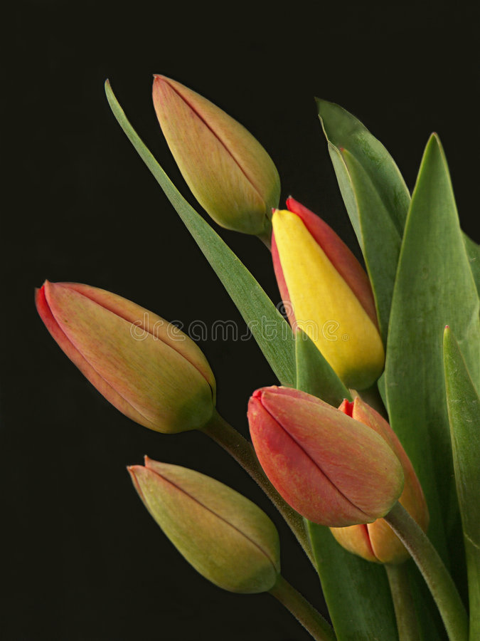 Download Yellow and red tulips stock photo. Image of color, proposal - 114130