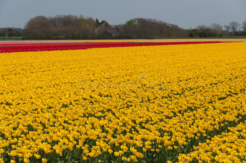 Download Yellow and red tulips stock photo. Image of bright, amsterdam - 23499920