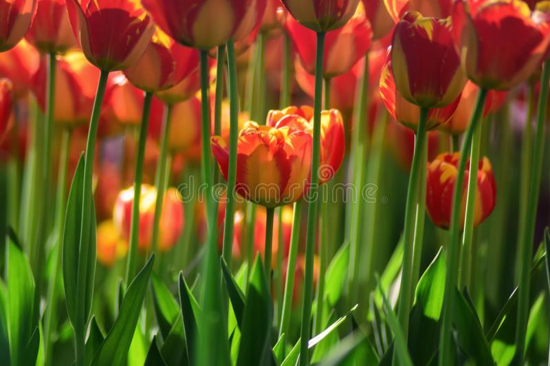 Yellow red tulips royalty free stock images