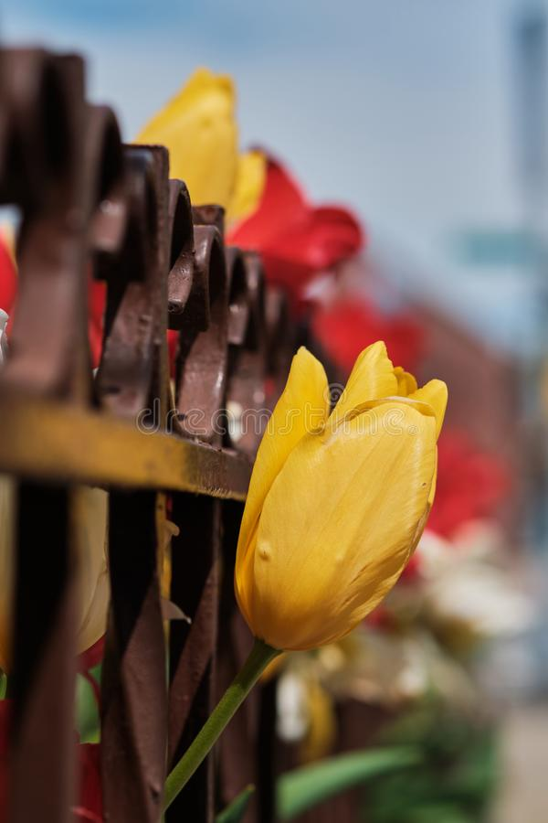 Yellow and red tulips behind rusted fence in spring royalty free stock images