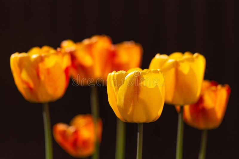 Yellow-red tulips on a dark background with backlight.Close up.Bright beautiful spring flowers in the sunlight stock photo