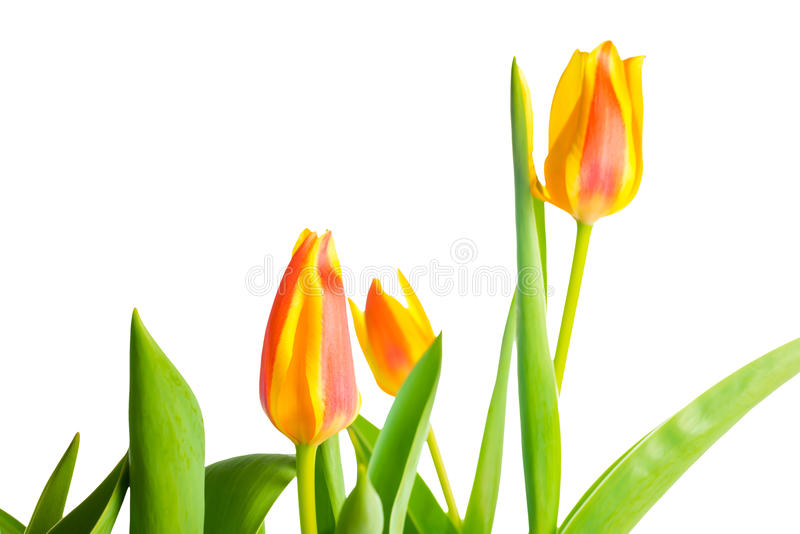 Yellow and red Tulips flower is isolated on white stock photography