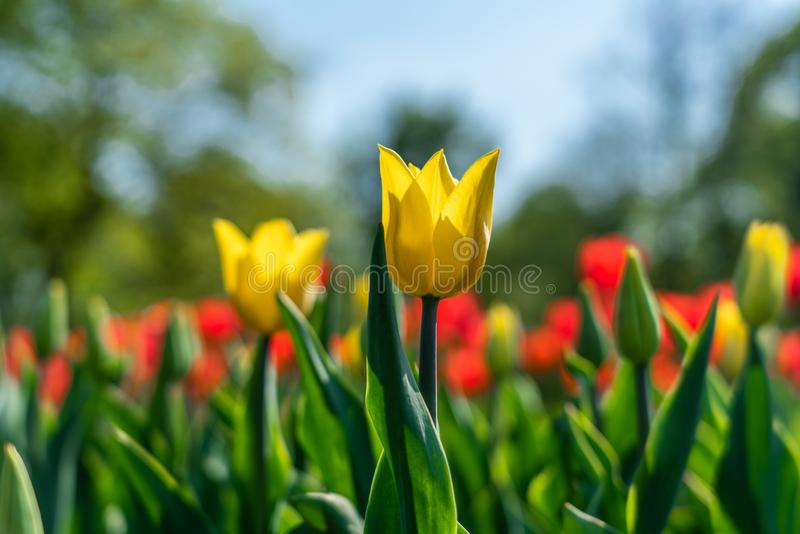 Yellow and red tulips flowering in the garden royalty free stock photos