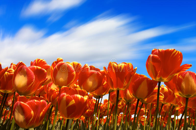 Yellow and red tulips royalty free stock images