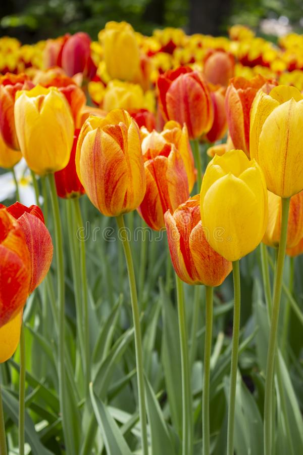 Yellow red varietal group tulips, background wallpaper vertical photo, close-up. Beautiful large flowers strict tulips. Yellow red varietal group tulips stock photo