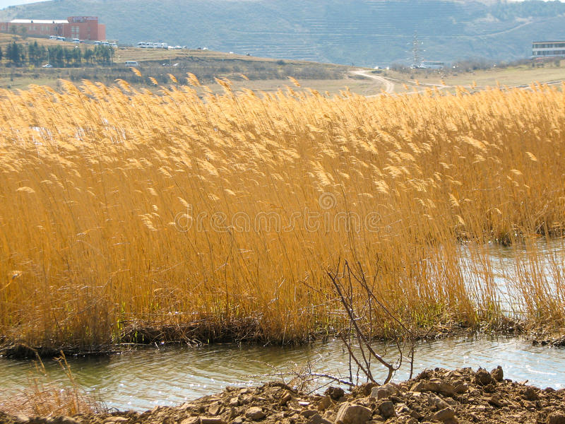 Yellow reeds at the lake in nature in autumn royalty free stock photography