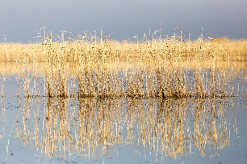 Yellow reeds at the lake royalty free stock images