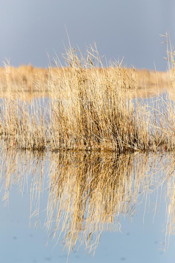Yellow reeds at the lake stock images