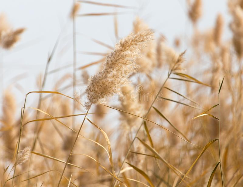 Yellow reeds in nature in autumn stock photos