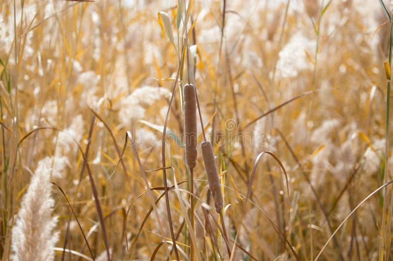 Yellow reeds in nature in autumn royalty free stock photography
