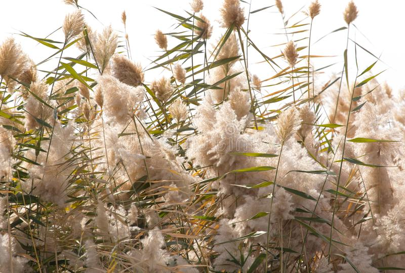 Yellow reeds in nature in autumn royalty free stock photos
