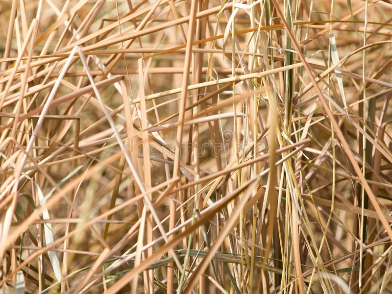 Yellow reeds in nature in autumn royalty free stock photo