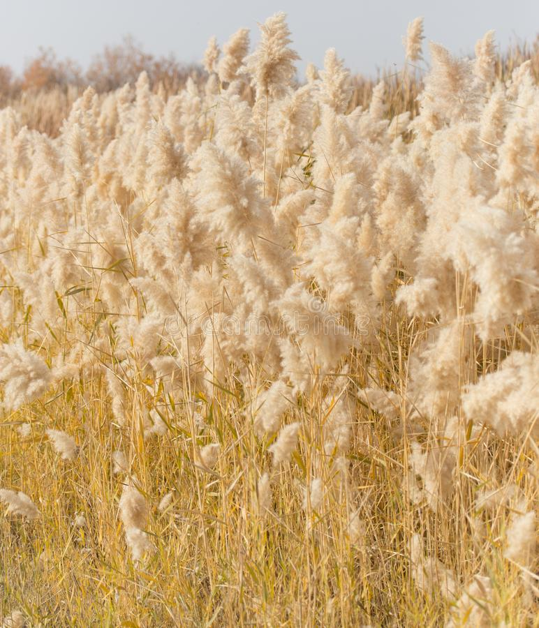 Yellow reeds in nature in autumn stock image