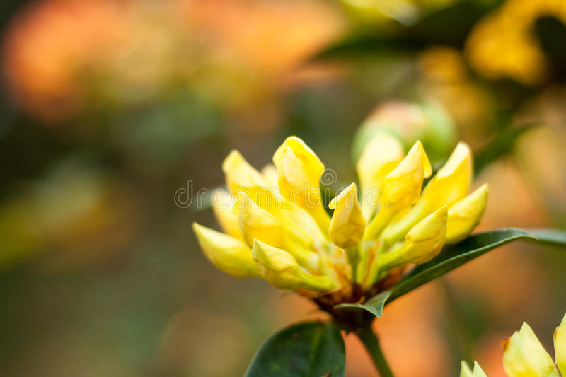 Yellow Rhododendron bud stock photos