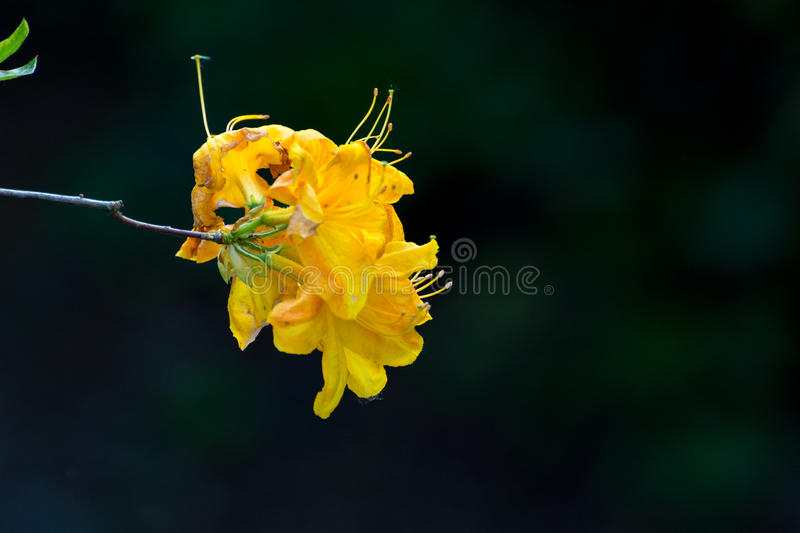 Yellow Rhododendron flowers royalty free stock image