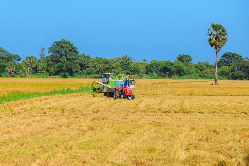 Yellow rice field with tractors stock images