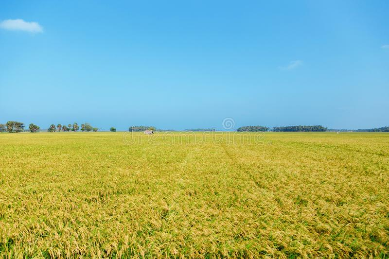 Yellow rice field with trees. Landscape with yellow rice field and trees and barn on blue sky background, agriculture of asian region royalty free stock images