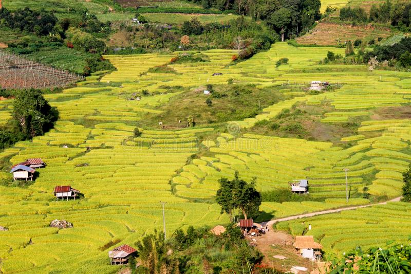 A yellow rice terraces fields. royalty free stock image