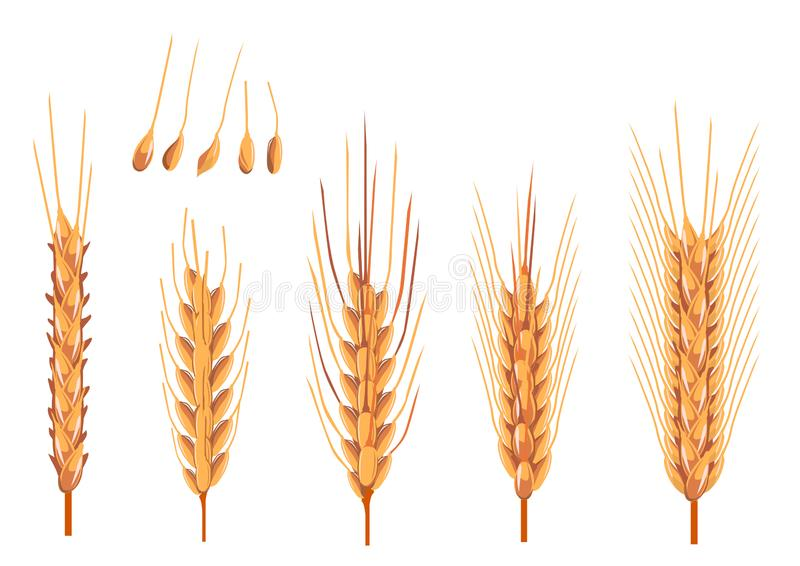 Yellow ripe ears of wheat. Five ripe yellow ears of wheat and isolated grains, durum and soft royalty free illustration