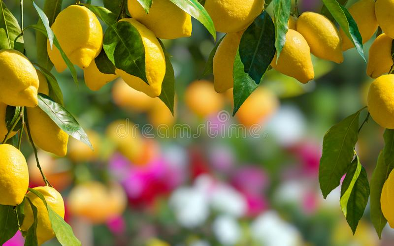 Yellow ripe lemons with green leaves on lemon tree stock photo