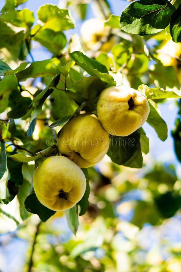 Yellow ripe quince on tree branch closeup royalty free stock photography
