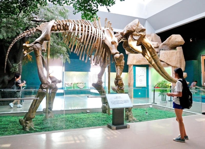 Yellow River Elephant Fossil