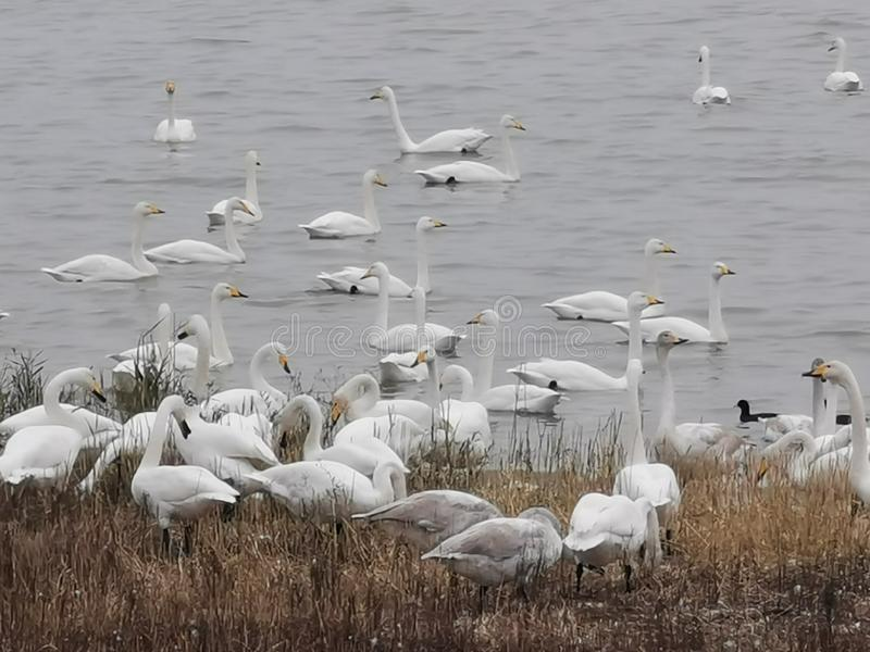The Yellow River Wetland of Sanmenxia City, China, thousands of swans came to winter from distant Siberia(1). royalty free stock images
