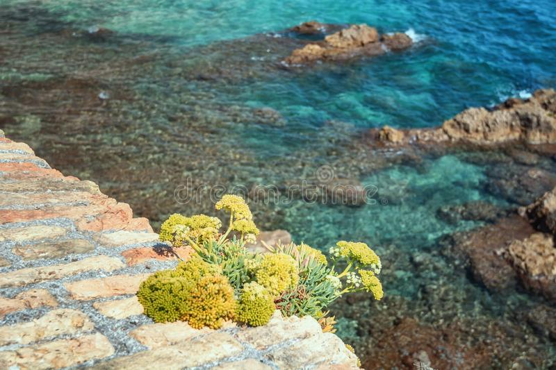 Yellow rock plant growing on the old city wall of Antibes. In France stock images