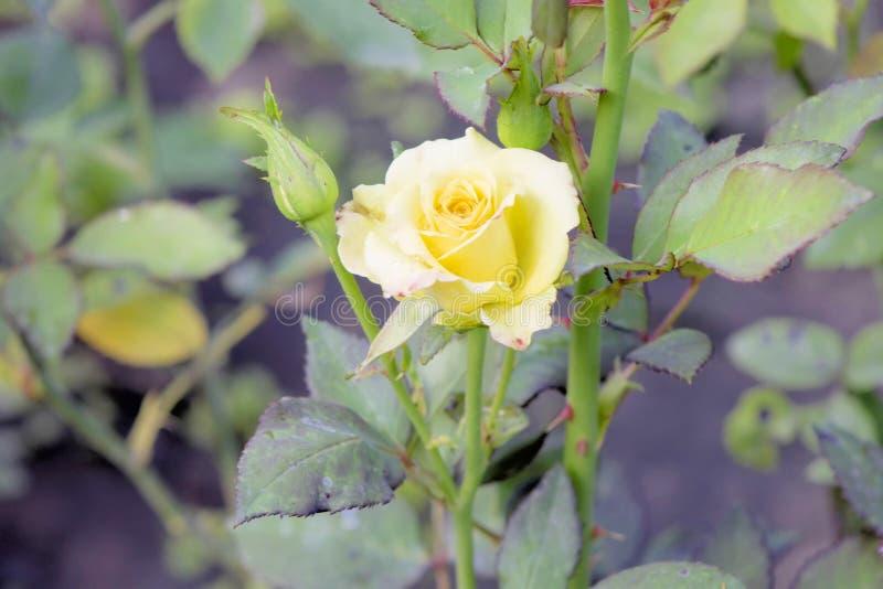 Yellow Rosa. Bardovaya Grew Buds Rosa Buket Valentina Debutante Map Beautiful Beauty royalty free stock photo