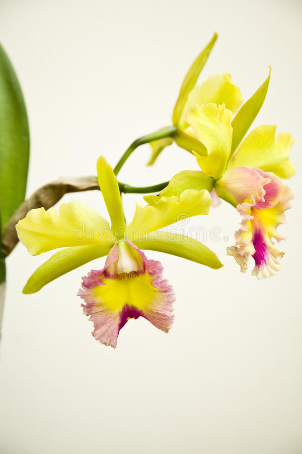 Download Yellow - Rosa Orchid, Cattleya Arkivfoto - Bild av petal, växter: 27284700