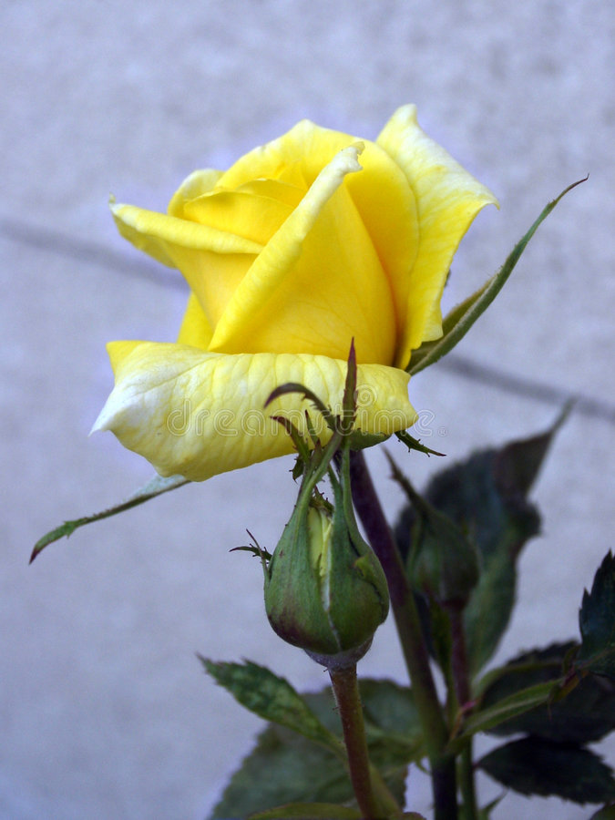 Download Yellow rose stock photo. Image of summer, plants, leaves - 1100