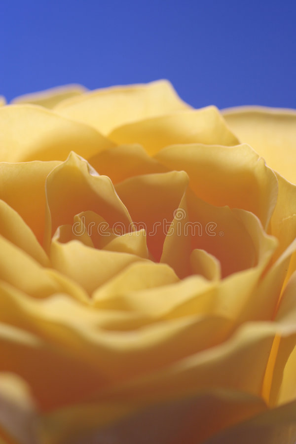 Download Yellow Rose Royalty Free Stock Photos - Image: 100128