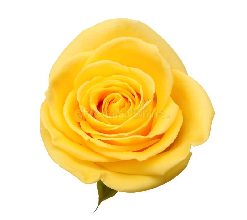 Free Yellow Rose Royalty Free Stock Photo - 17946545
