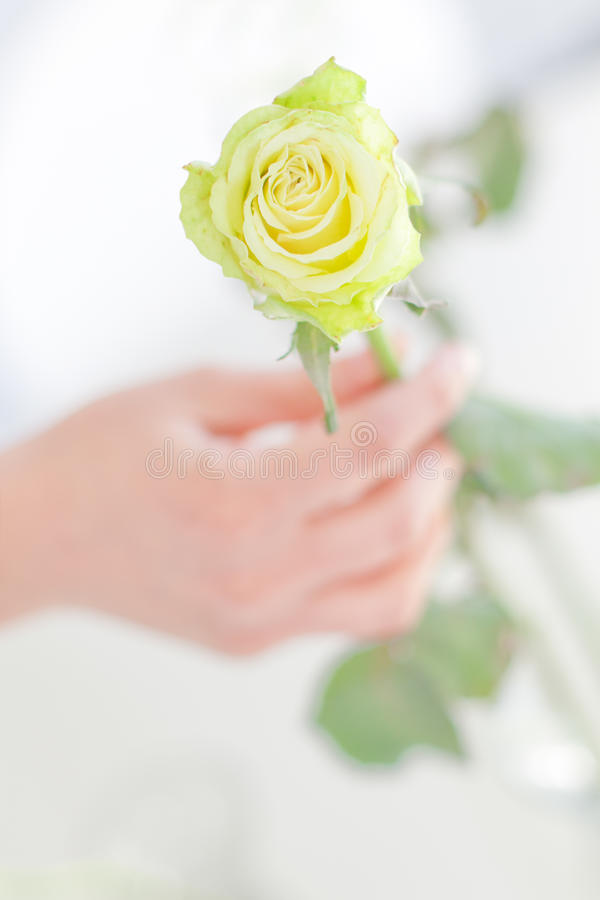 Download Yellow rose stock image. Image of style, glamour, skin - 19126239