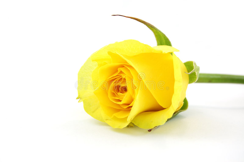 Download Yellow Rose Royalty Free Stock Images - Image: 2268479